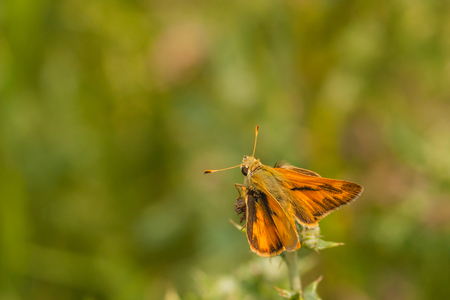 Macro of a woodland skipper butterfly Stock Photo