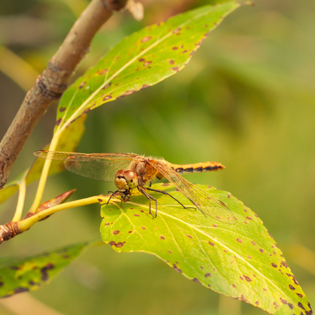 Macro of the predatory Cherry-faced Meadowhawk Dragonfly eating it prey while sitting on a leaf. Stock Photo