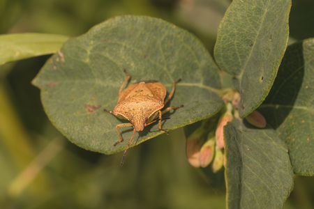 Front view of a large brown stink bug resting on a leaf. Stock Photo