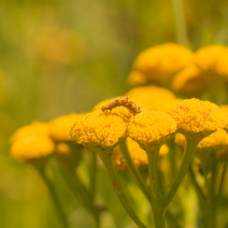 Yellow moth caterpillar crawling on a tansy flower. Stock Photo