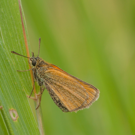 Macro of a European Skipper resting on a blade of grass. Stock Photo