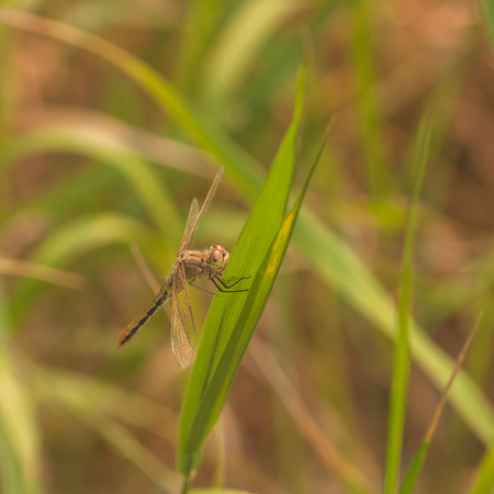 Macro of a brown cherry-faced meadowhawk  dragonfly resting on a blade of grass.