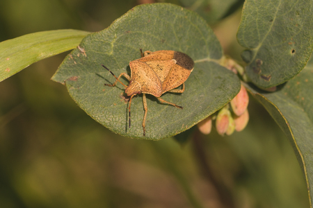 Top view of a large brown stink bug resting on a leaf.