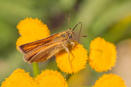 Macro of the top of a European Skipper Butterfly resting on a tansy flower.