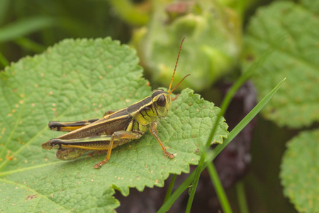 Macro of a Striped Sedge Grasshopper resting on a leaf. Stock Photo