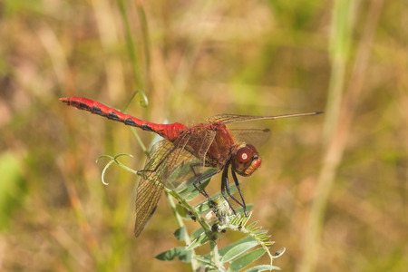 Macro of a Cherry-Faced Meadowhawk Dragonfly resting on green foliage.