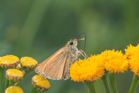 Macro of a European Skipper drinking from a tansy flower.