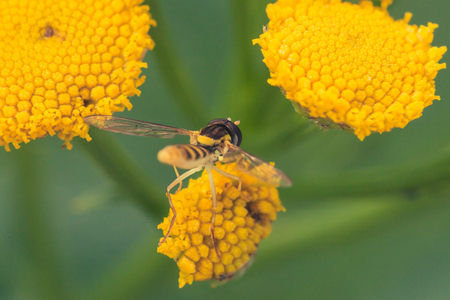 Macro of a hoverfly collecting pollen from a tansy flower.