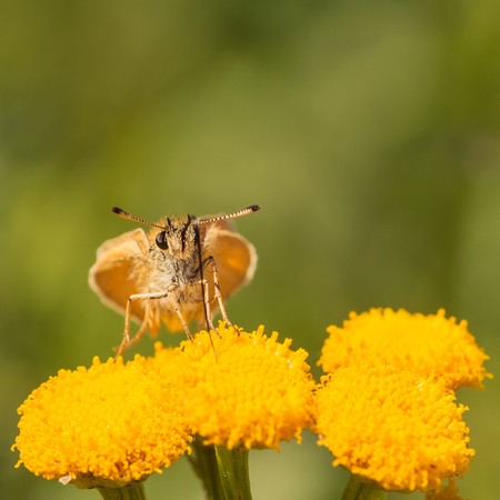 Macro of face view of a European Skipper Butterfly drinking from a tansy flower.