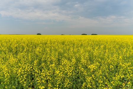 Prairie landscape of bright yellow canola. Stock Photo