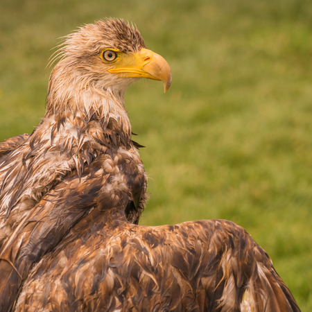 Portrait of a young bald eagle after a bath in captivity. Stock Photo