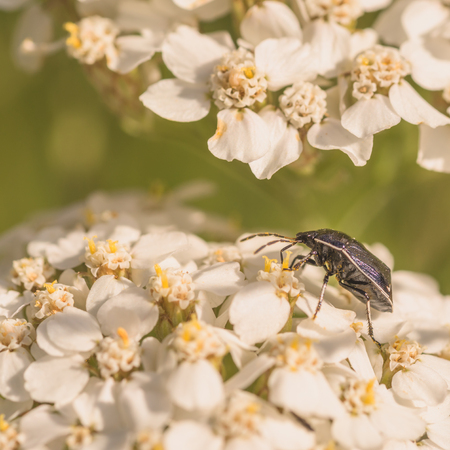Macro of a white margined burrower bug on white whilte flowers. Stock Photo