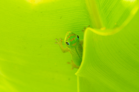 Macro of a gold dust day gecko peaking out between two leaves. Stock Photo