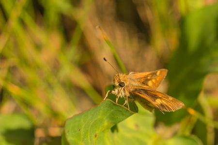 Macro of a large skipper butterfly resting on a leaf.