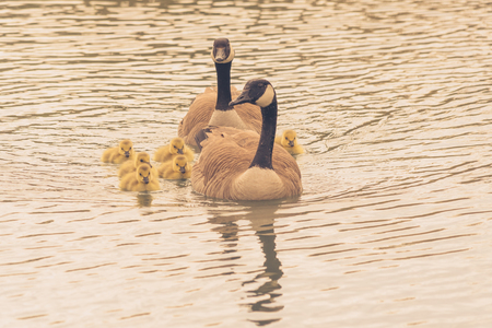 Family of canada geese including six goslings swimming.