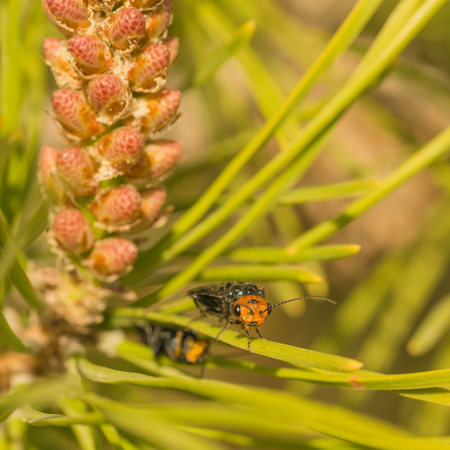 Macro of a common sawfly with a red head sitting on a pine needle.