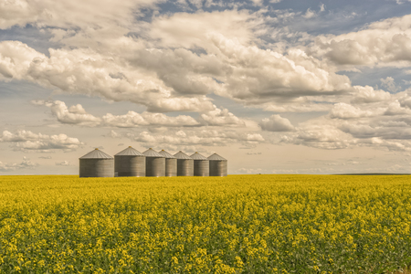 Seven grain silos in a line in a blooming canola field with a blue cloudy sky.