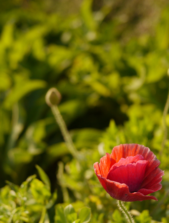 Red poppy flower with blur background