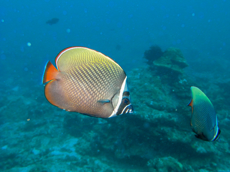 redtail butterfly fish, with blur background, Thailand Stock Photo