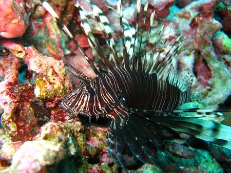 scorpaenidae fish, Thailand