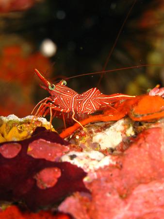 striped hinge-beak shrimp, Thailand