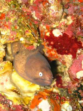 White eye Moray in ocean Reklamní fotografie - 111347281