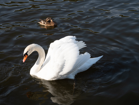 Swan in Vltava river, Prague 版權商用圖片