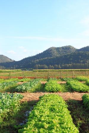 lactuca sativa: Lactuca sativa (lettuce) farm near mountain Stock Photo