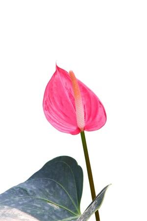 Anthurium sonate pink flamingo lily on white background. photo