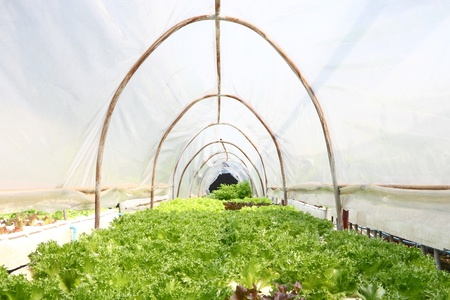Vegetable in hydroponic farm.