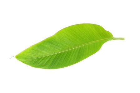 banana leaf: Hoja joven del pl�tano en el fondo blanco