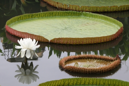 Victoria lotus flower and leaf in pond. photo