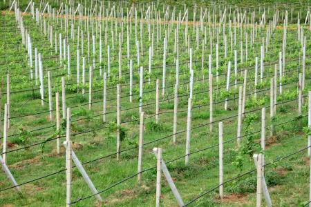 cement pole: Row of cement pole grape farm  Stock Photo