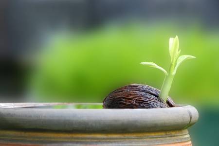Young othalanga sprout seed float in local jar. Stock Photo