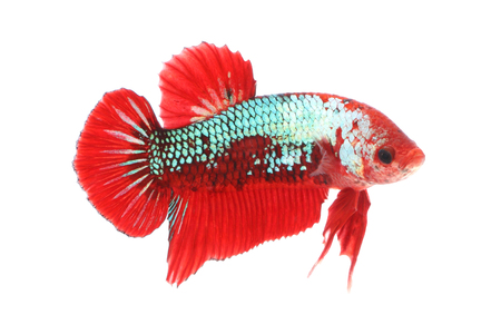 Normal betta fighting fancy fish on white background. Stock Photo