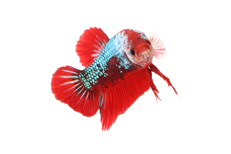 Betta fighting fancy fish mouth focus on white background.