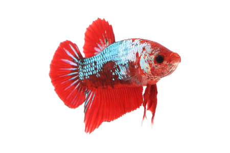 Front betta fighting fancy fish on white background.