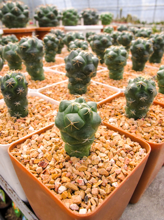 Close Up Coryphantha Elephantidens Cactus in the pot at farm 스톡 콘텐츠