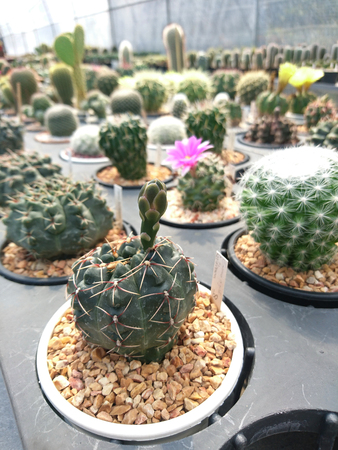Cactus Gymnocalycium in the pot at farm