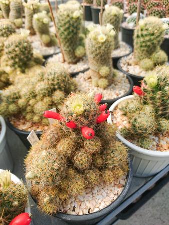 Cactus Mammillaria prolifera with white flower and seed Stock Photo