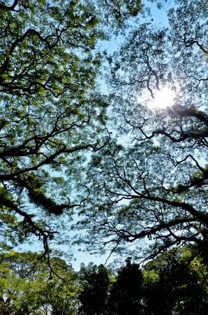 Tropical big Saman Tree Stock Photo - 17114826
