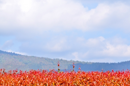Red   orange leaves against the blue sky Stock Photo - 17845318