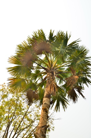 cycas: couple Plam tree in early morning sky background at sunrise