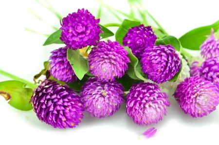purple flowers isolate on white bcakground Stock Photo