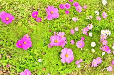 vibrant background: Pink chrysanthemum flowers vibrant background
