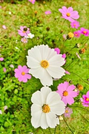 vibrant background: white chrysanthemum flowers vibrant background