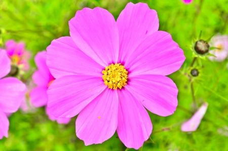 Pink chrysanthemum flowers vibrant  Stock Photo