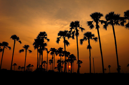 siluate of sugar palm in rice field during sunset photo