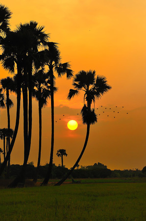 siluate of sugar palm in rice field during sunset