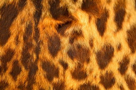 Closeup real tiger fur